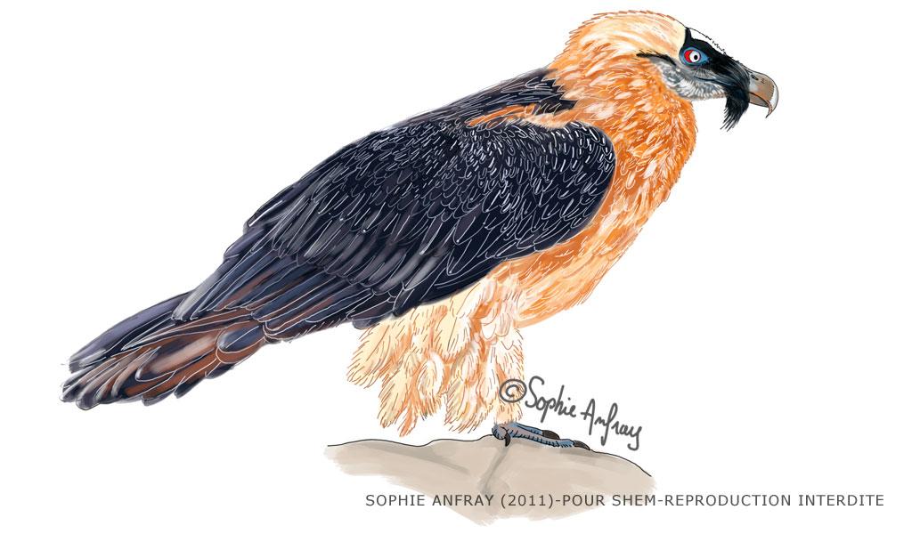 Illustration naturaliste d'un gypaète barbu.