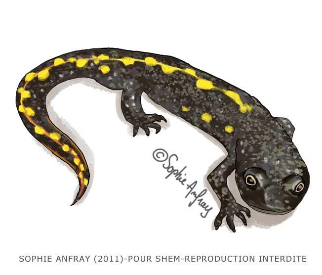 Illustration naturaliste d'un euprocte des Pyrénées.