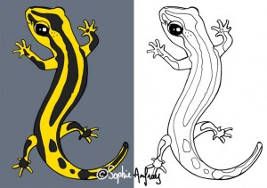 Dessin Salamandre salamandre tachetee   sophie anfray
