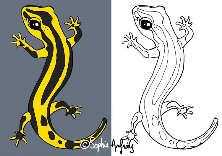 Dessin d'une salamandre vue du dessus.