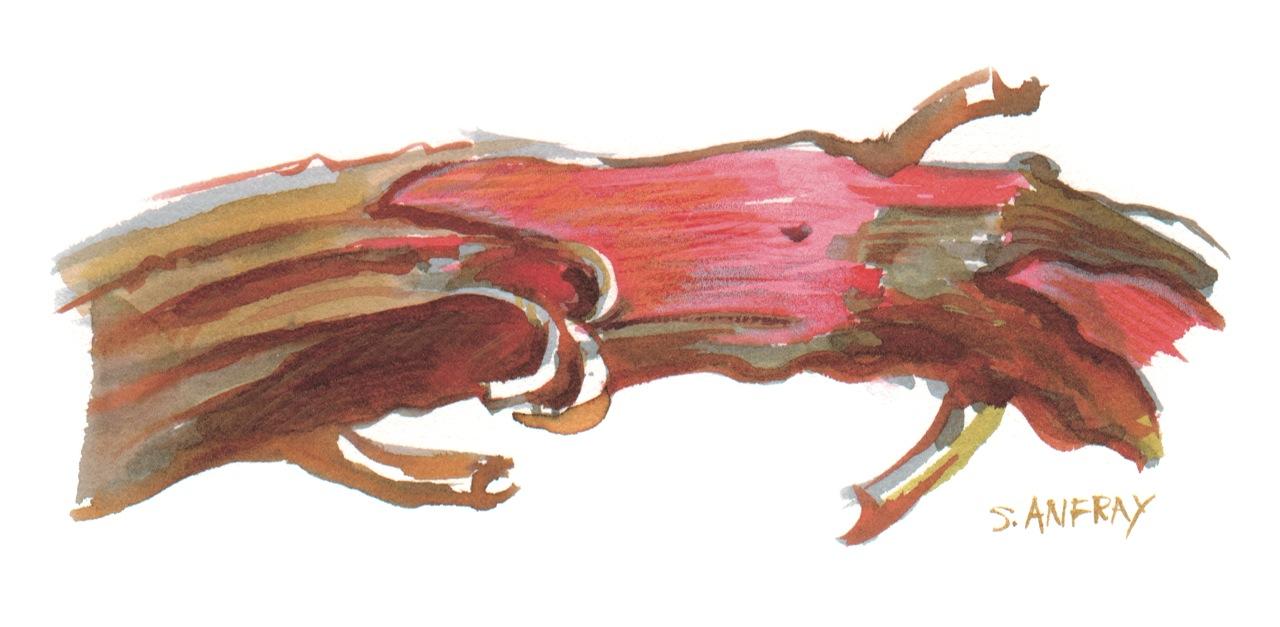 Aquarelle d'une branche de bois de rose.