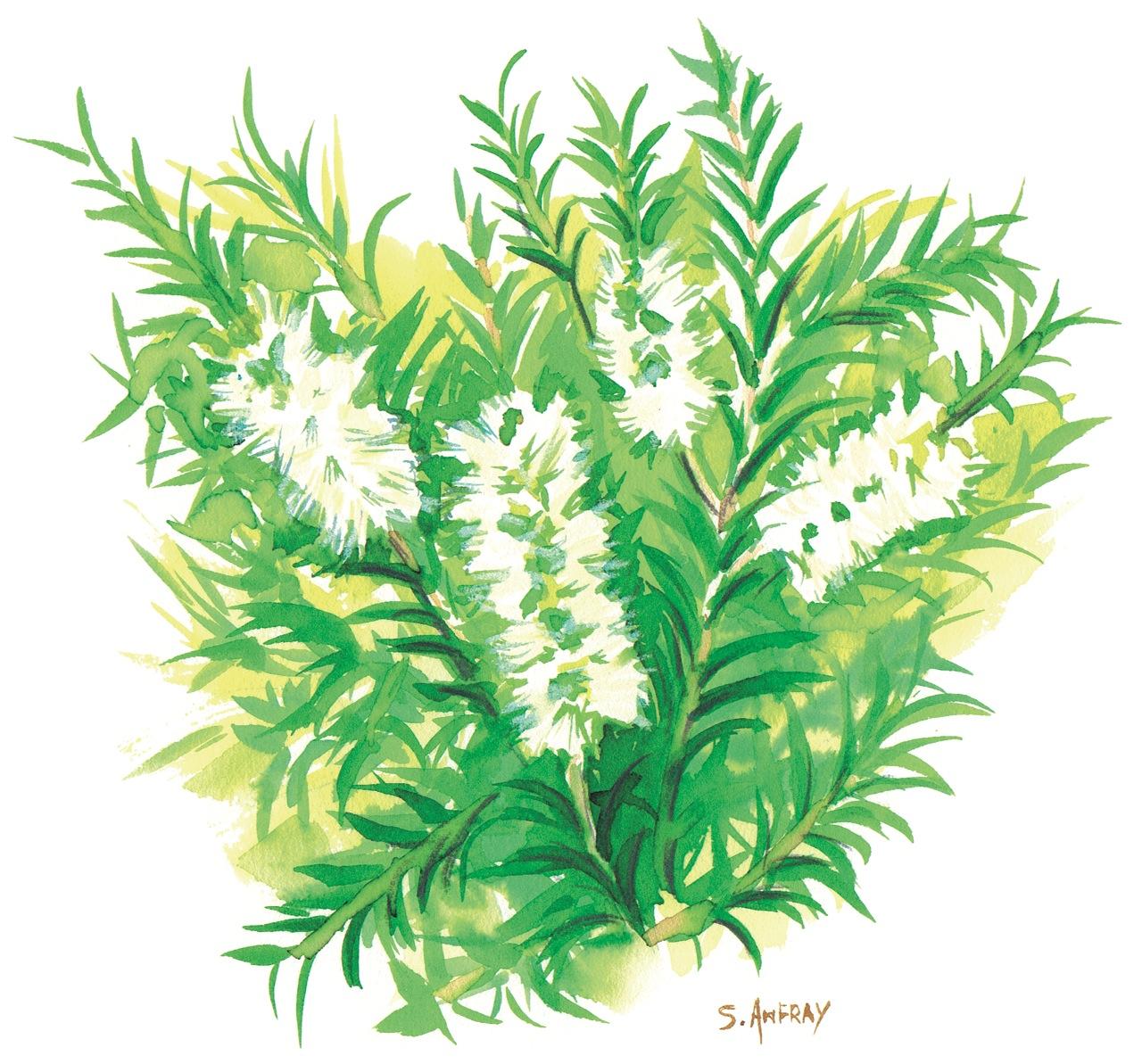 Aquarelle d'une branche d'arbre à thé.