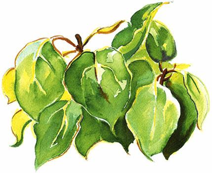 Aquarelle de feuilles de ravensare.