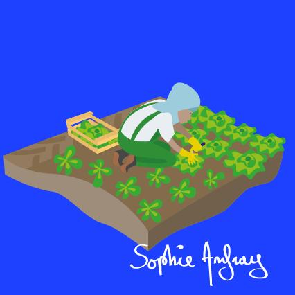 Dans un champs une femme récolte de la salade.