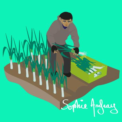 Une ouvrier agricole récolte des poireaux